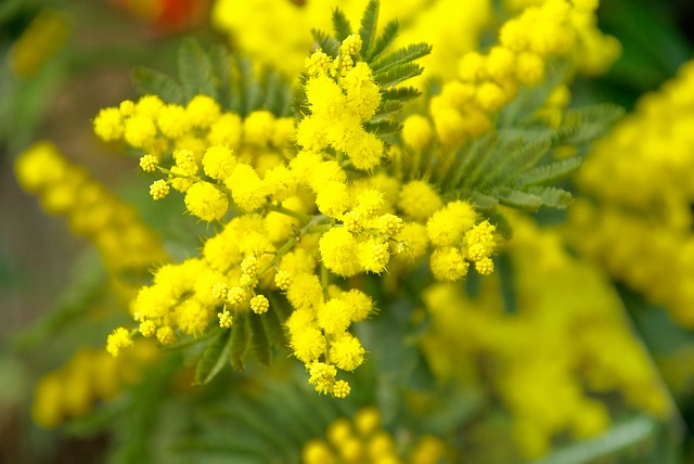 mimosa auguri Festa della Donna